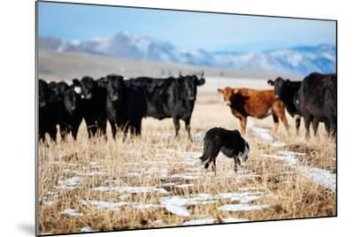 A Border Collie Herds Cattle In Northern Nevada On A High Desert Ranch-Shea Evans-Mounted Photographic Print