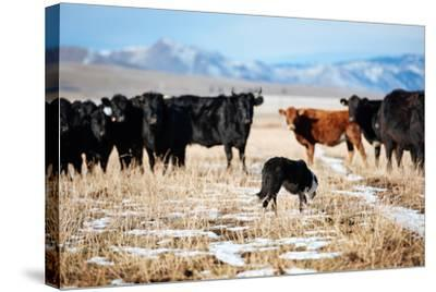 A Border Collie Herds Cattle In Northern Nevada On A High Desert Ranch-Shea Evans-Stretched Canvas Print