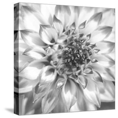 Black & White Dalia 4-Suzanne Foschino-Stretched Canvas Print