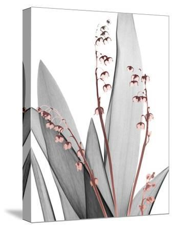 Lily of the Blush 1-Albert Koetsier-Stretched Canvas Print