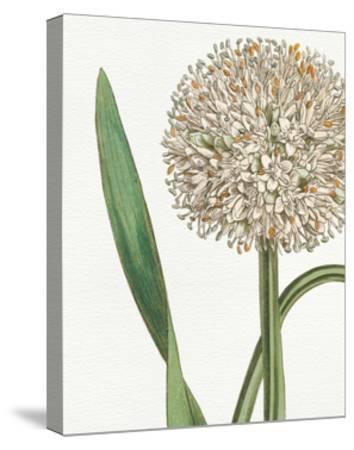 Botanique Blue II on White No Words-Wild Apple Portfolio-Stretched Canvas Print