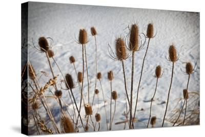 Prairie Seedheads-Steve Gadomski-Stretched Canvas Print