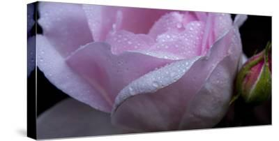 Rose Pink-Charles Bowman-Stretched Canvas Print