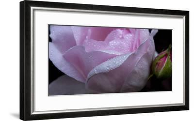 Rose Pink-Charles Bowman-Framed Photographic Print