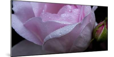Rose Pink-Charles Bowman-Mounted Photographic Print