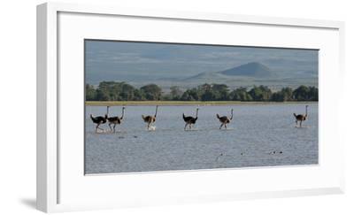 Six Ostriches Amboseli-Charles Bowman-Framed Photographic Print