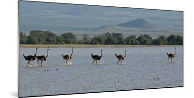 Six Ostriches Amboseli-Charles Bowman-Mounted Photographic Print