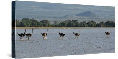 Six Ostriches Amboseli-Charles Bowman-Stretched Canvas Print