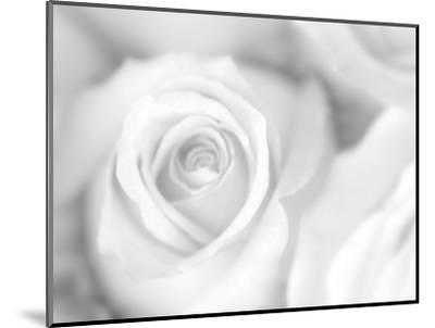 Rose Studies II-James McLoughlin-Mounted Photographic Print