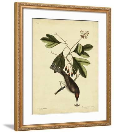 Catesby The Tyrant, Pl. T55-Mark Catesby-Framed Art Print