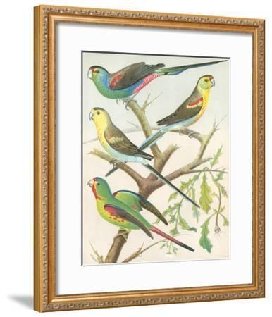 Cassell's Parakeets IV-Cassell-Framed Art Print