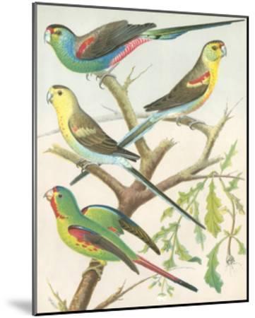 Cassell's Parakeets IV-Cassell-Mounted Art Print