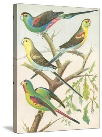 Cassell's Parakeets IV-Cassell-Stretched Canvas Print