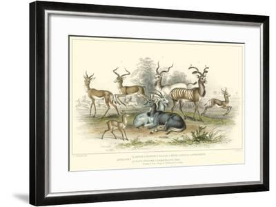Antelope Varieties-J. Stewart-Framed Art Print