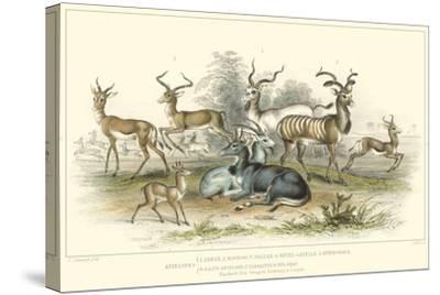 Antelope Varieties-J. Stewart-Stretched Canvas Print