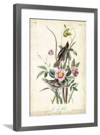 Seaside Finch-John James Audubon-Framed Art Print