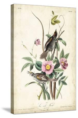 Seaside Finch-John James Audubon-Stretched Canvas Print