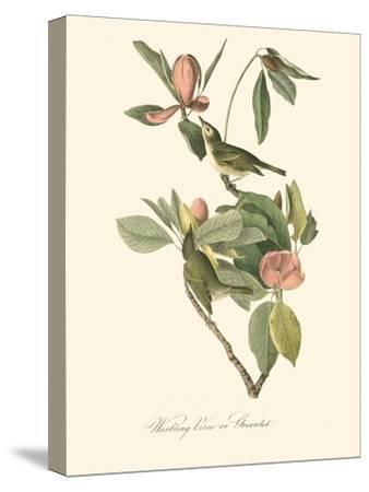 Audubon's Vireo-John James Audubon-Stretched Canvas Print