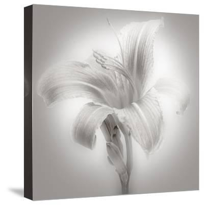 Tiger Lily II-James McLoughlin-Stretched Canvas Print