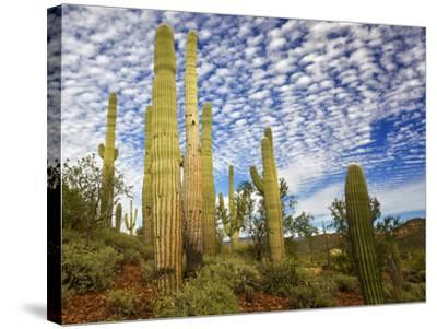 Cacti View III-David Drost-Stretched Canvas Print