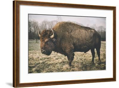 Solitary Bison IV-Adam Mead-Framed Photographic Print