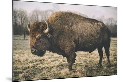 Solitary Bison IV-Adam Mead-Mounted Photographic Print