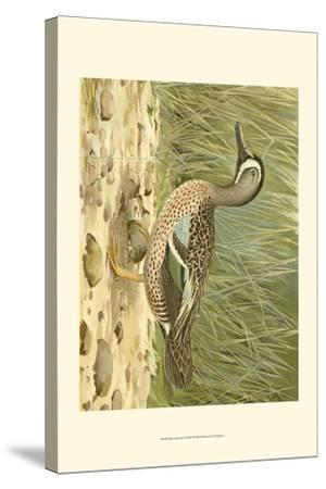Blue-wing Teal-Ridgeway-Stretched Canvas Print