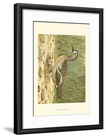 Blue-wing Teal-Ridgeway-Framed Art Print