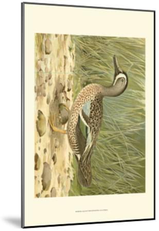 Blue-wing Teal-Ridgeway-Mounted Art Print