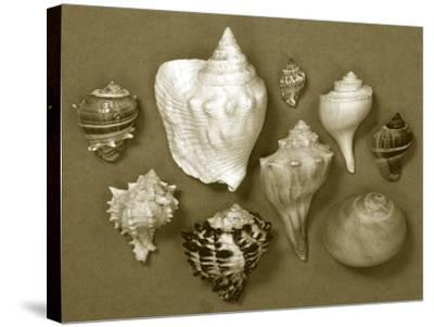 Shell Collector Series I-Renee W^ Stramel-Stretched Canvas Print