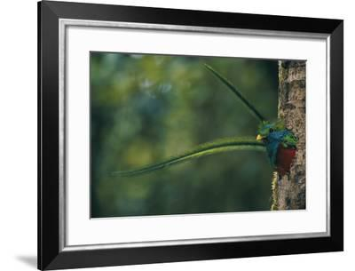 Male Resplendent Quetzal (Pharomachrus Mocinno Costaricensis) Peers from its Nest in Guatemala-Steve Winter-Framed Photographic Print