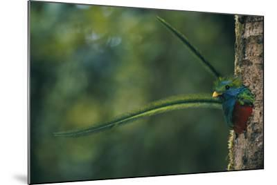 Male Resplendent Quetzal (Pharomachrus Mocinno Costaricensis) Peers from its Nest in Guatemala-Steve Winter-Mounted Photographic Print