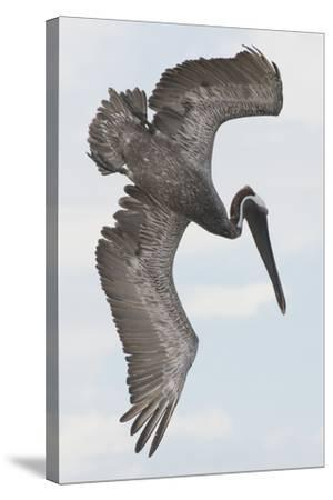 A Brown Pelican Dives for Food-Jeff Mauritzen-Stretched Canvas Print
