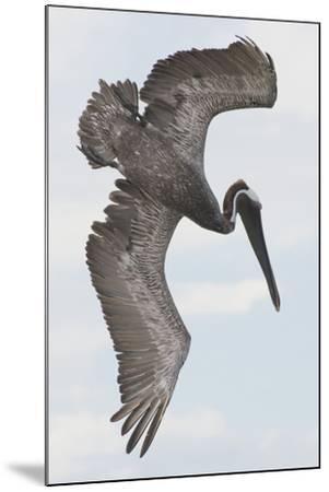 A Brown Pelican Dives for Food-Jeff Mauritzen-Mounted Photographic Print