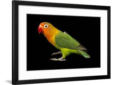 Lilian's or Nyasa Lovebird, Agapornis Lilianae, from a Private Collection-Joel Sartore-Framed Photographic Print