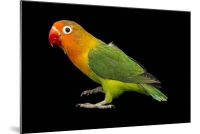 Lilian's or Nyasa Lovebird, Agapornis Lilianae, from a Private Collection-Joel Sartore-Mounted Photographic Print