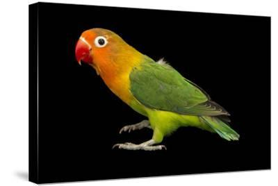 Lilian's or Nyasa Lovebird, Agapornis Lilianae, from a Private Collection-Joel Sartore-Stretched Canvas Print