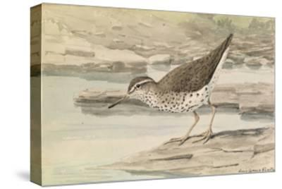 A Painting of a Spotted Sandpiper-Louis Agassi Fuertes-Stretched Canvas Print