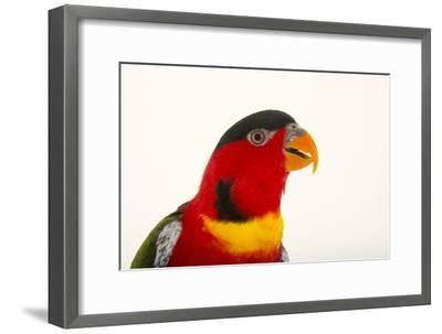 Yellow Bibbed Lory, Lorius Chlorocercus, from a Private Collection-Joel Sartore-Framed Photographic Print