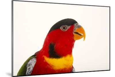 Yellow Bibbed Lory, Lorius Chlorocercus, from a Private Collection-Joel Sartore-Mounted Photographic Print