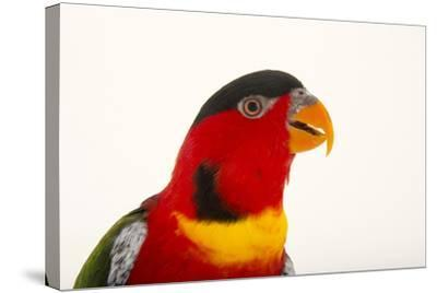 Yellow Bibbed Lory, Lorius Chlorocercus, from a Private Collection-Joel Sartore-Stretched Canvas Print