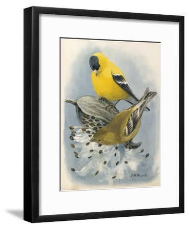 An Illustration of Male and Female American Goldfinchs-Louis Agassi Fuertes-Framed Art Print
