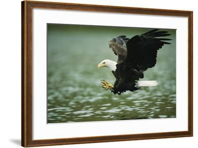 An American Bald Eagle Lunges Toward its Prey Below the Water-Klaus Nigge-Framed Photographic Print