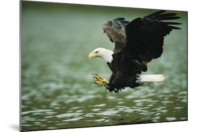 An American Bald Eagle Lunges Toward its Prey Below the Water-Klaus Nigge-Mounted Photographic Print