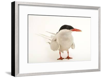An Arctic Tern, Sterna Paradisaea, at the Buttonwood Park Zoo-Joel Sartore-Framed Photographic Print