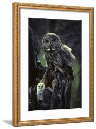 Great Gray Owls on Nest in Idaho-Michael S^ Quinton-Framed Photographic Print