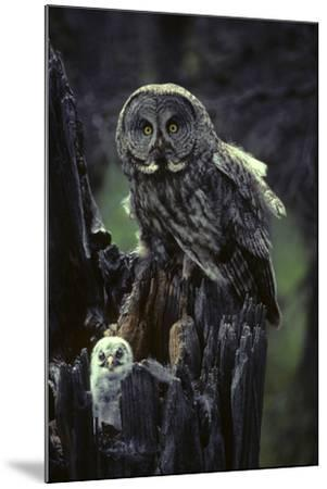 Great Gray Owls on Nest in Idaho-Michael S^ Quinton-Mounted Photographic Print