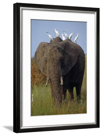 Cattle Egrets Perch Atop an Elephant Foraging in Grassland-George F^ Mobley-Framed Photographic Print
