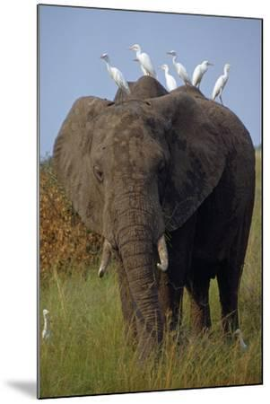 Cattle Egrets Perch Atop an Elephant Foraging in Grassland-George F^ Mobley-Mounted Photographic Print