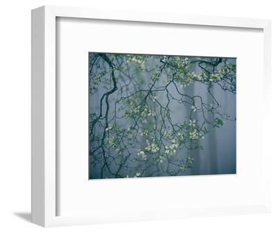 Dogwood Blossoms in a Foggy Forest-Raymond Gehman-Framed Photographic Print